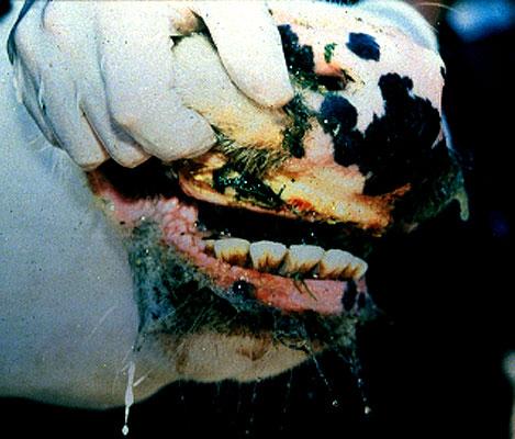 التهاب الفم الحويصلى Vesicular stomatitis فى الماشية : تآكلات على الوسادة السنية .