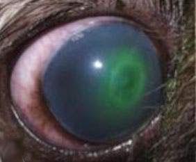 التهاب القرنيه التقرحي في كلب.