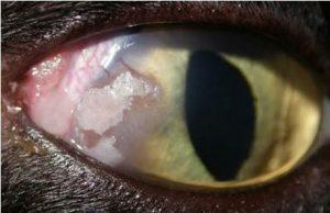 التهاب الملتحمه البكتيري في عيون قطه (لاحظ النقط البيضاء)