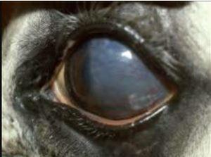 التهاب الملتحمه الحساس لقطه