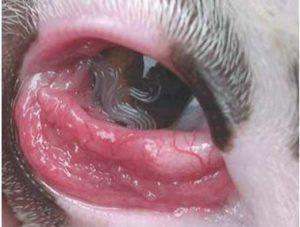 التهاب عين قطه بسبب الديدان واحمرار شديد في العين