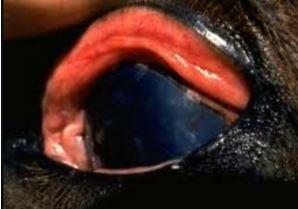 التهاب القرنيه التقرحي في حصان الاسهم البيضاء تشير الى اللوحه