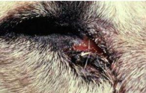 اصابه مخاطيه في عين كلب نتيجه للريكيتسيا
