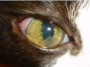 التهاب القزحيه الامامي في قطه (anterior uveitis)