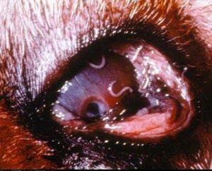 ديدان في عين كلب