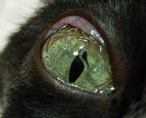 ديدان في عين قطه
