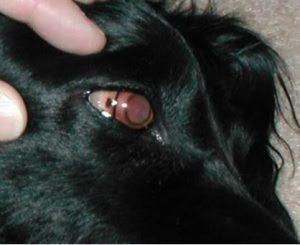 التهاب القزحيه الفيروسي في كلب