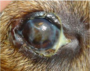 كلب به عماص في العين نتيجه لالتهاب فيروسي (Eye boogers)