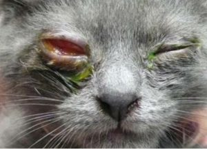 اصابه بالهربس في عين قطه