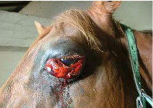 مرض الحصان الافريقي