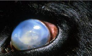 عين بقره تعاني من حمى الالتهاب الخبيث