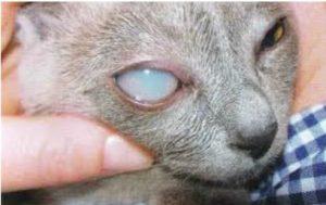 دهون سائله في العين اليمنى لقطه