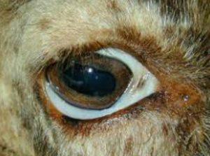 فقر دم في عين غنمه
