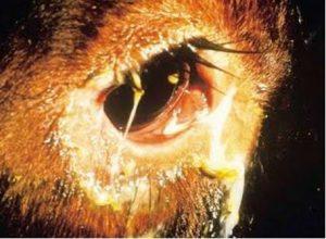طاعون بقري .. التهاب في عين بقره