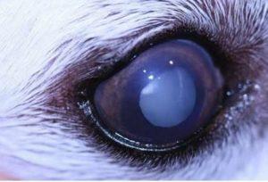 ماء بيضاء في عين كلب صغير (cataract)