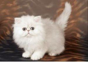 نقص خلقي في عيون قطه