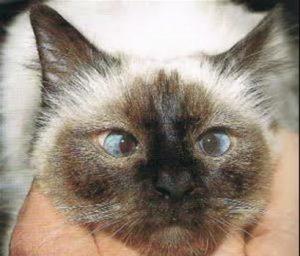 قطه تعاني من الحول (convergent strabismus)