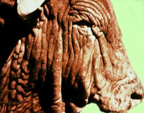 داء البسنيوتا Besnoitia : مظهر جلد الفيل