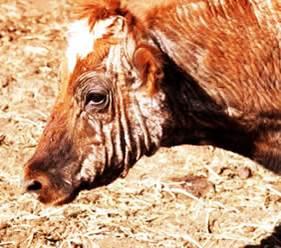 الجرب القارمى الجلبى للابقار (Sarcoptic scabiei mite) : وجه بقره : سقوط الشعر و تكوين جلبات وسماكة الجلد و تجعدة .