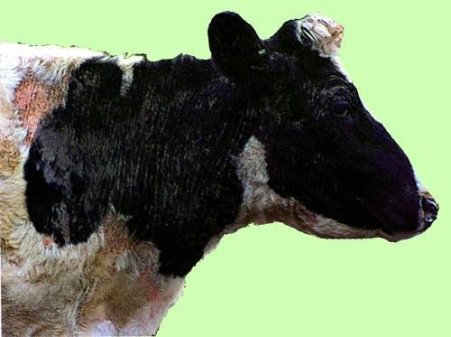 لجرب القارمى الجلبى للابقار (Sarcoptic scabiei mite) : سقوط الشعر و سماكة الجلد