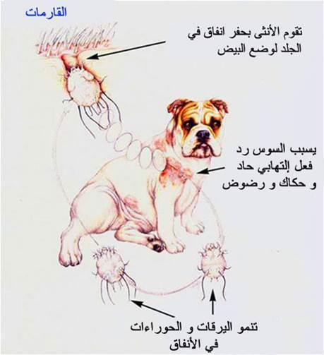 جرب قارمى جلبى فى كلب (Sarcoptic scabiei mite var canis) : دورة الحياة