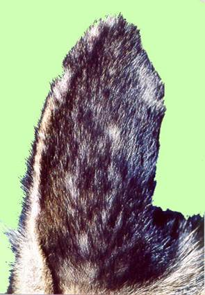 جرب قارمى جلبى فى كلب (Sarcoptic scabiei mite var canis) : عطب صوان الأذن .