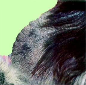 جرب قارمى جلبى فى كلب (Sarcoptic scabiei mite var canis) : سقوط الشعر وجلبات جافة وتشققات وسماكة حافة الأذن.