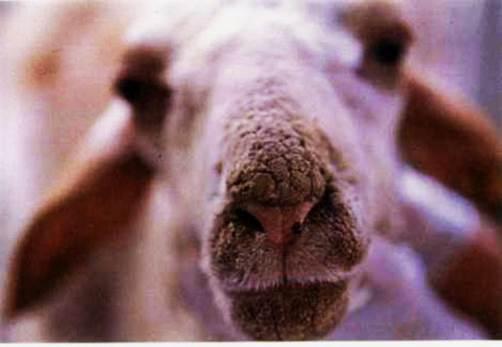الجرب القارمى الجلبى للأغنام (Sarcoptic scabiei mite var ovis) : جلبات على أنف غنمة